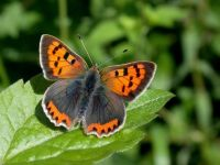070-small-copper-male