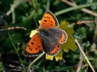 071-small-copper-female