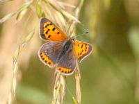 072-small-copper-form-caeruleo-punctata