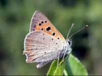 073-small-copper-female2