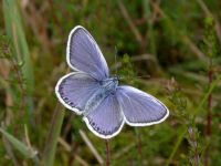 075-silver-studded-blue-male