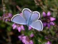 077-silver-studded-blue-male3