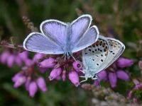 078-silver-studded-blue