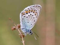 079-silver-studded-blue2