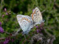 080-silver-studded-blue3