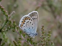 082-silver-studded-blue-male4
