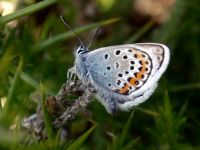 083-silver-studded-blue-male5