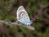 084-silver-studded-blue-male6
