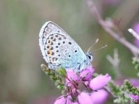 085-silver-studded-blue-male7