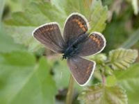 086-silver-studded-blue-female