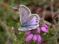 087-Silver-studded-blue-female-form-caernensis