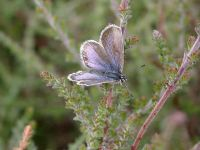 088-silver-studded-blue-female-form-caernensis2