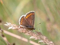 089-brown-argus