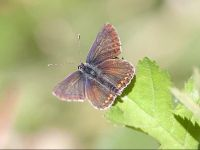 096-northern-brown-argus-form-salmacis2