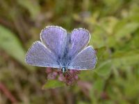 097-common-blue1