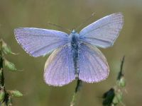 098-common-blue2