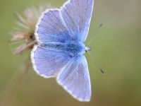 099-common-blue3