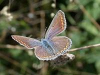 101-common-blue-female