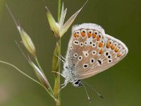103-common-blue-female2