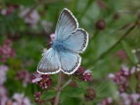104-chalkhill-blue-male