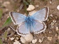 105-chalkhill-blue-male2