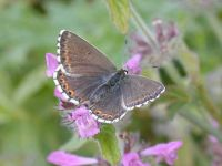 106-chalkhill-blue-female