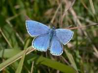 107-adonis-blue-male