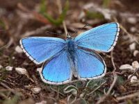 108-adonis-blue-male2