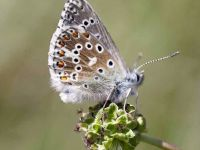 109-adonis-blue-male3