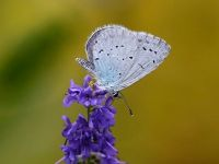 111-holly-blue-male2