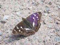 126-purple-emperor