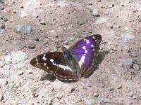 127-purple-emperor2