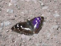 128-purple-emperor-male