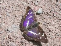129-purple-emperor-male2