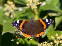 134-red-admiral1