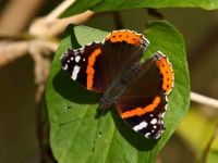 135-red-admiral2
