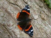 136-red-admiral3