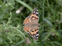 137-painted-lady-autumn-migrant1