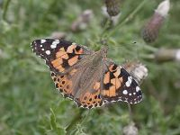 138-painted-lady-autumn-migrant2