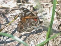 140-painted-lady-worn-spring-migrant