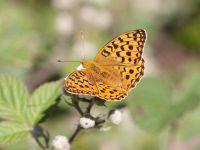 155-high-brown-fritillary