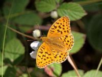 156-high-brown-fritillary2
