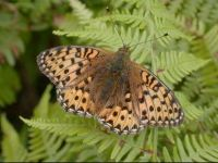 157-dark-green-fritillary1