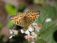 158-dark-green-fritillary2