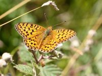 159-dark-green-fritillary3