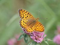 160-dark-green-fritillary4