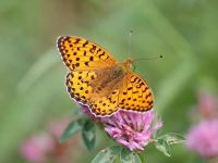 161-dark-green-fritillary5