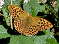 162-silver-washed-fritillary1