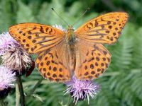 163-silver-washed-fritillary2