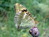164-silver-washed-fritillary3